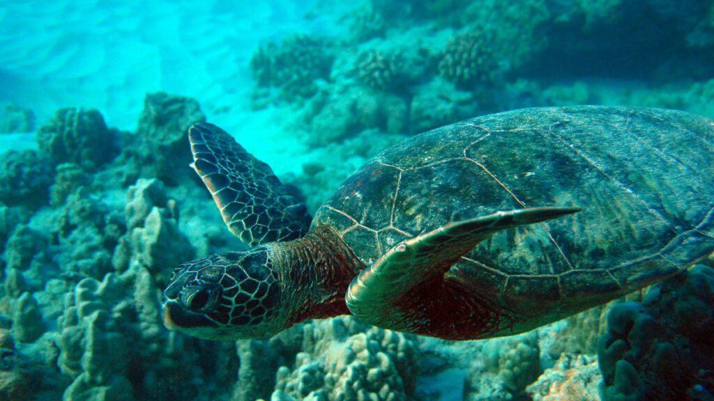 Snorkeling with Sea Turtles in Hawaii